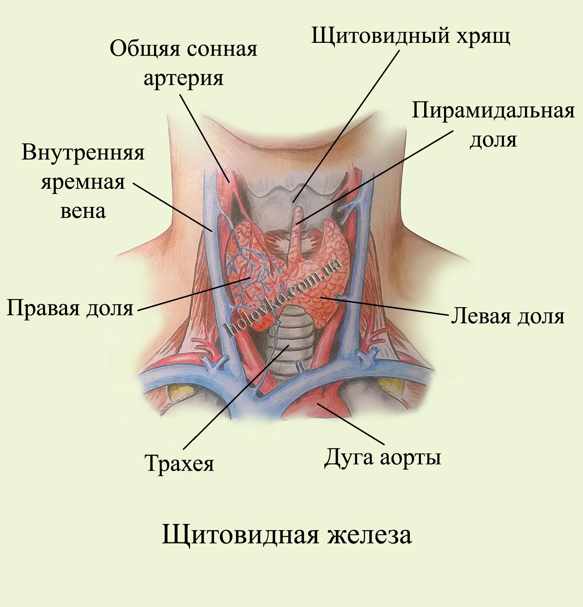 препараты при гипотиреозе щитовидной железы